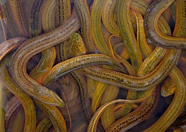 黄鳝养殖技术视频