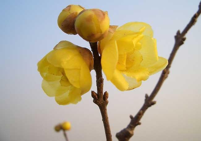 腊梅花图片