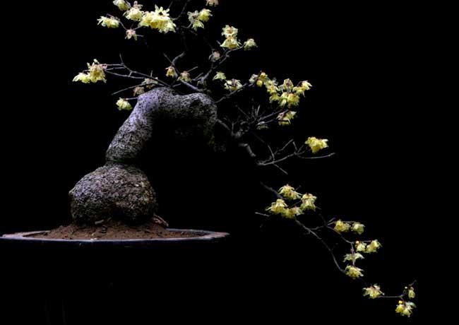 腊梅盆景的制作方法