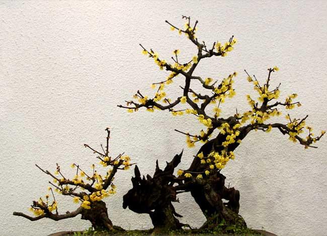 腊梅花盆景的制作和养护