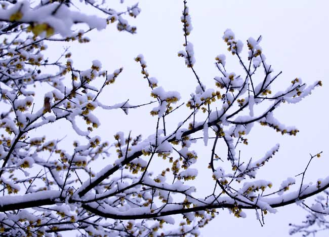 腊梅盆景图片欣赏