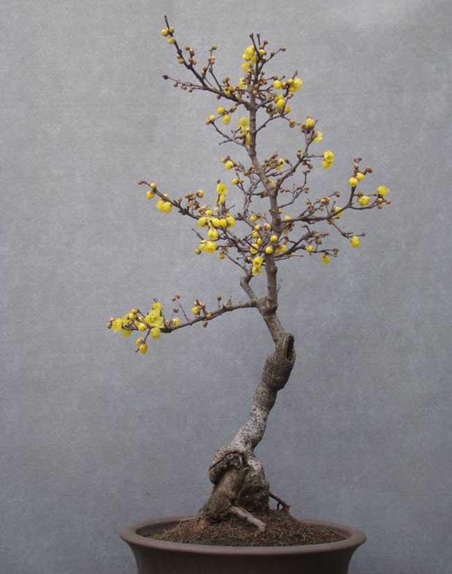 腊梅盆景图片