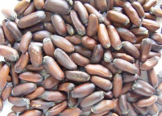 腊梅种子怎么播种?