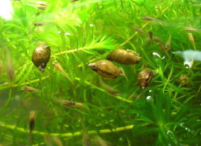 金鱼藻怎么养最好?