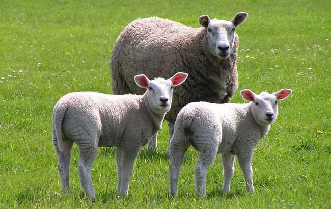 羊图片大全