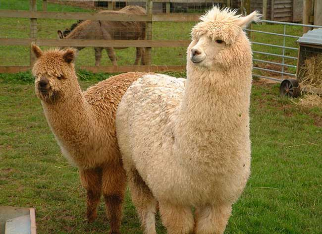 羊驼多少钱一只?