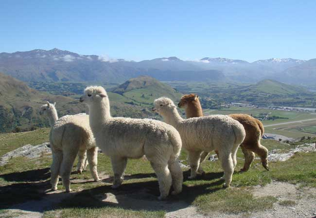 羊驼图片欣赏
