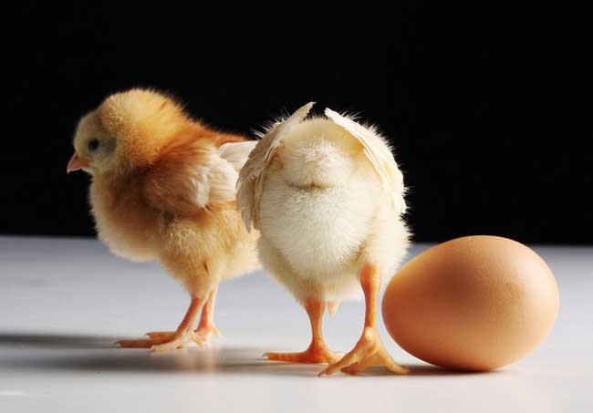 先有鸡还是先有蛋
