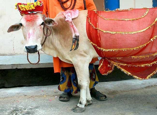 印度有关牛的趣闻绝对让你大开眼界