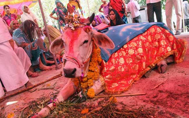 牛和牛可以结婚
