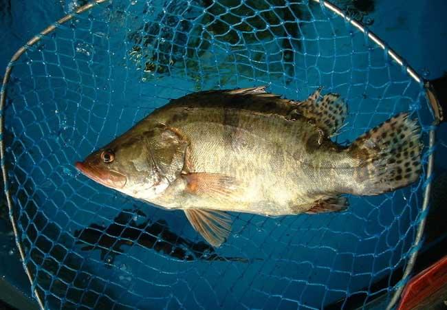桂鱼养殖技术