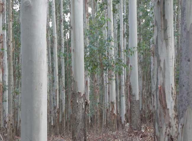 桉树的危害有哪些?