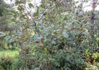 茶油树种植技术