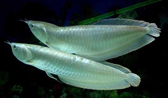 银龙鱼图片