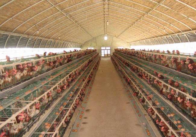 新式养鸡大棚建造方案