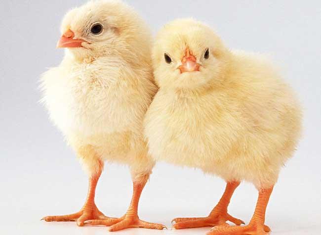 小鸡怎么养最好?