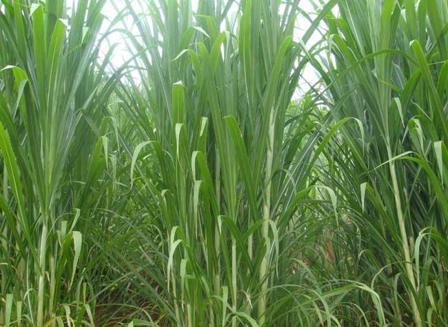 优质牧草品种有哪些?