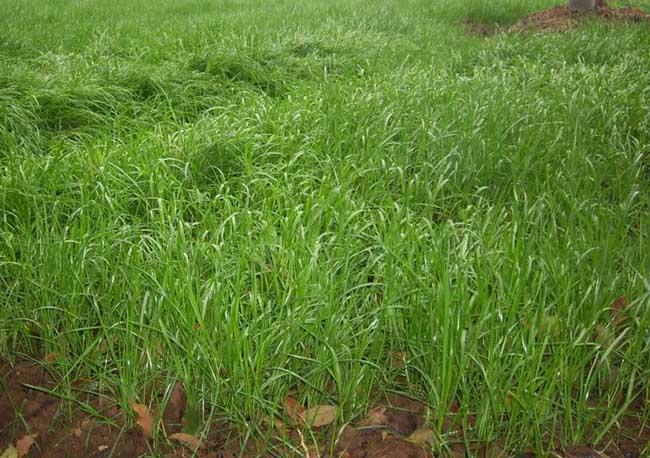 多花黑麦草