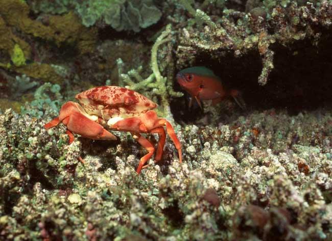 海蟹死了能吃吗?