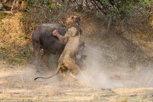 狮子恶战水牛同归于尽