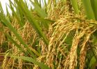 有机水稻种植技术