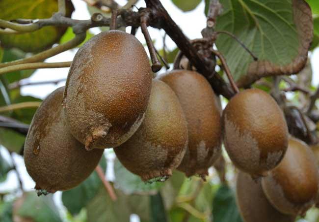 猕猴桃品种分类有哪些?