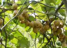 猕猴桃种植条件有哪些?