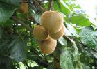 猕猴桃产地分布有哪些?