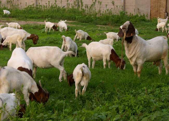 适合养羊的牧草品种有哪些?