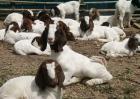 纯种波尔山羊与杂交羊的区别