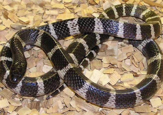银环蛇图片