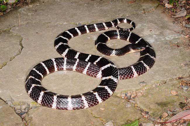 银环蛇吃什么?