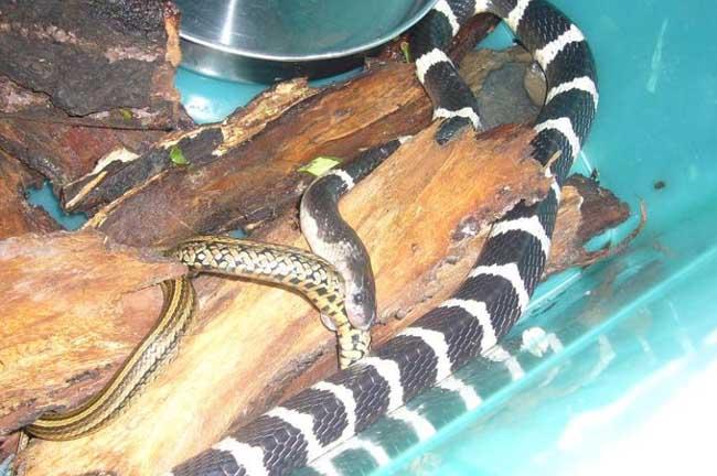 银环蛇吃什么