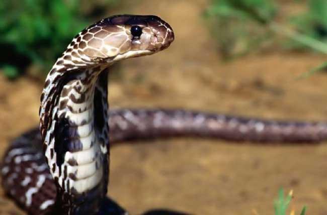 中华眼镜蛇