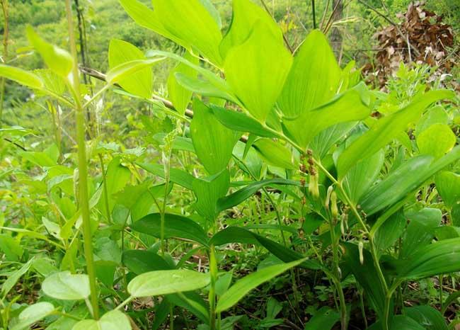 玉竹的产地分布