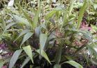 淡竹叶图片