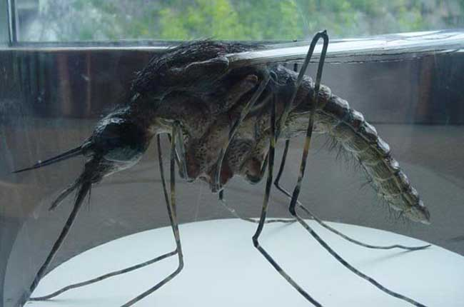 世界上最大的蚊子金腹巨蚊