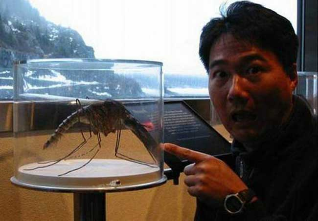 世界上最大的蚊子