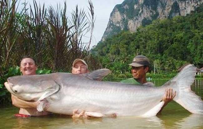 湄公河巨型鲶鱼