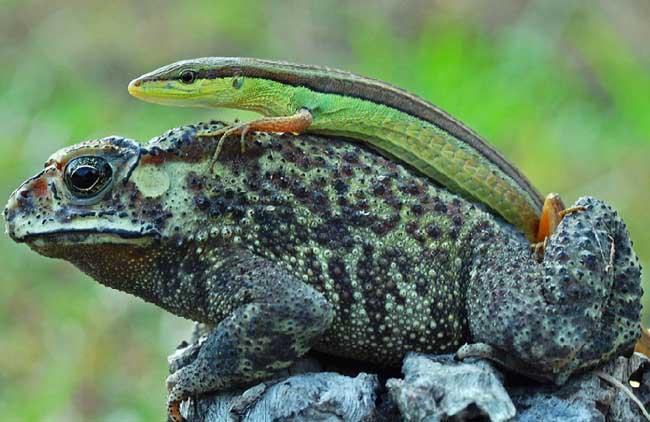一条蜥蜴爬在一只蟾蜍的背上