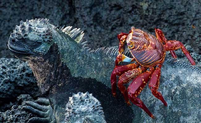 一只螃蟹爬在鬣鳞蜥的背上