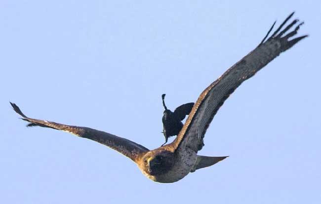 一只鸟被另外一只大鸟驮着飞翔