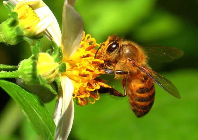 蜜蜂螫人后自己为什么会死?