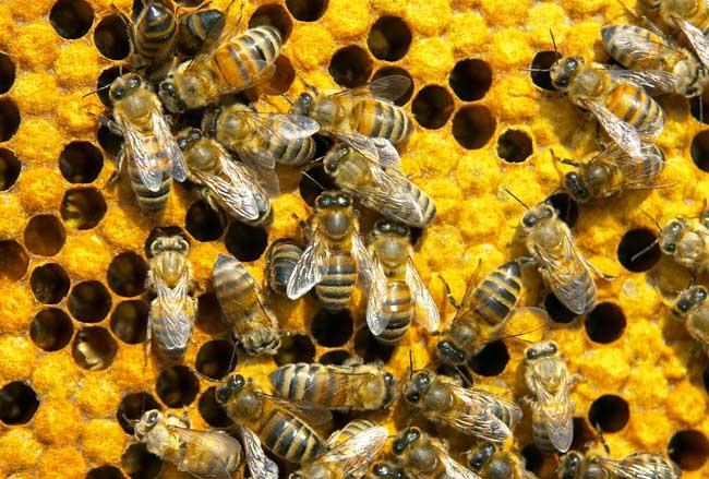 蜜蜂螫人为什么会死
