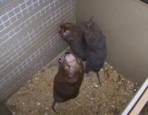竹鼠养殖技术视频
