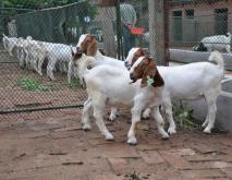 波尔山羊养殖技术视频