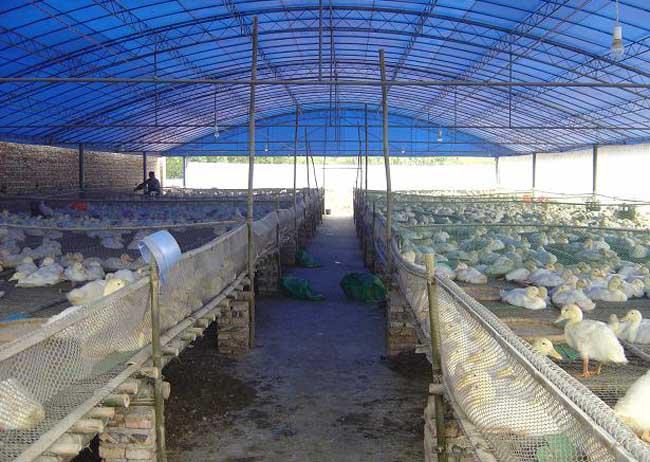 肉鸭大棚养殖技术