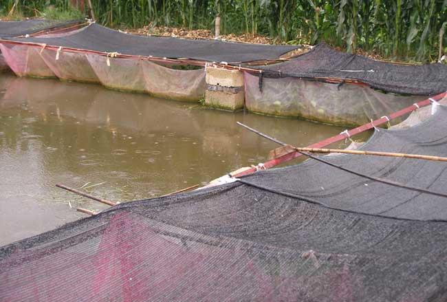 春季黄鳝养殖技术