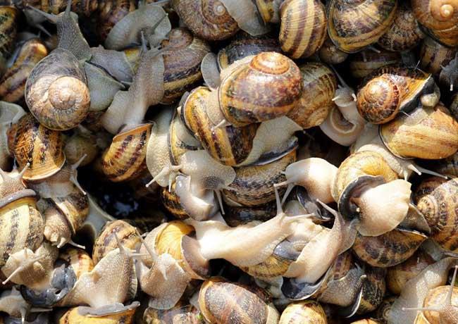 如何促使蜗牛交配产卵?