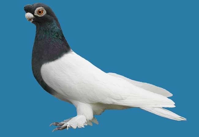 观赏鸽的种类